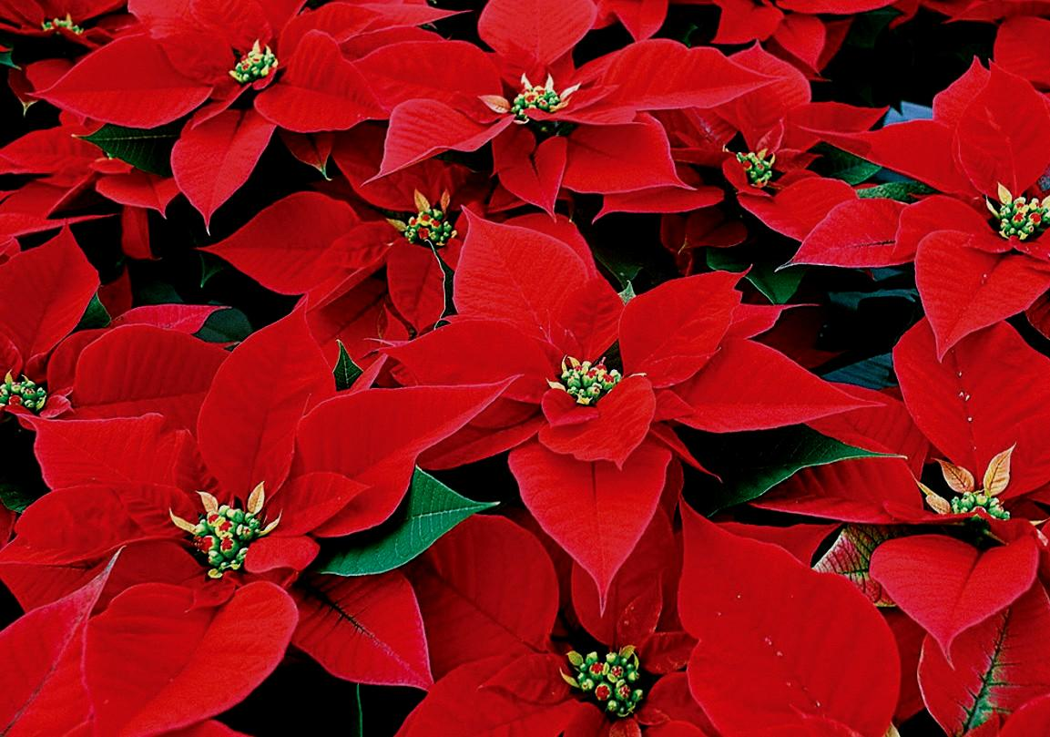Fun Facts About Poinsettias The Wave